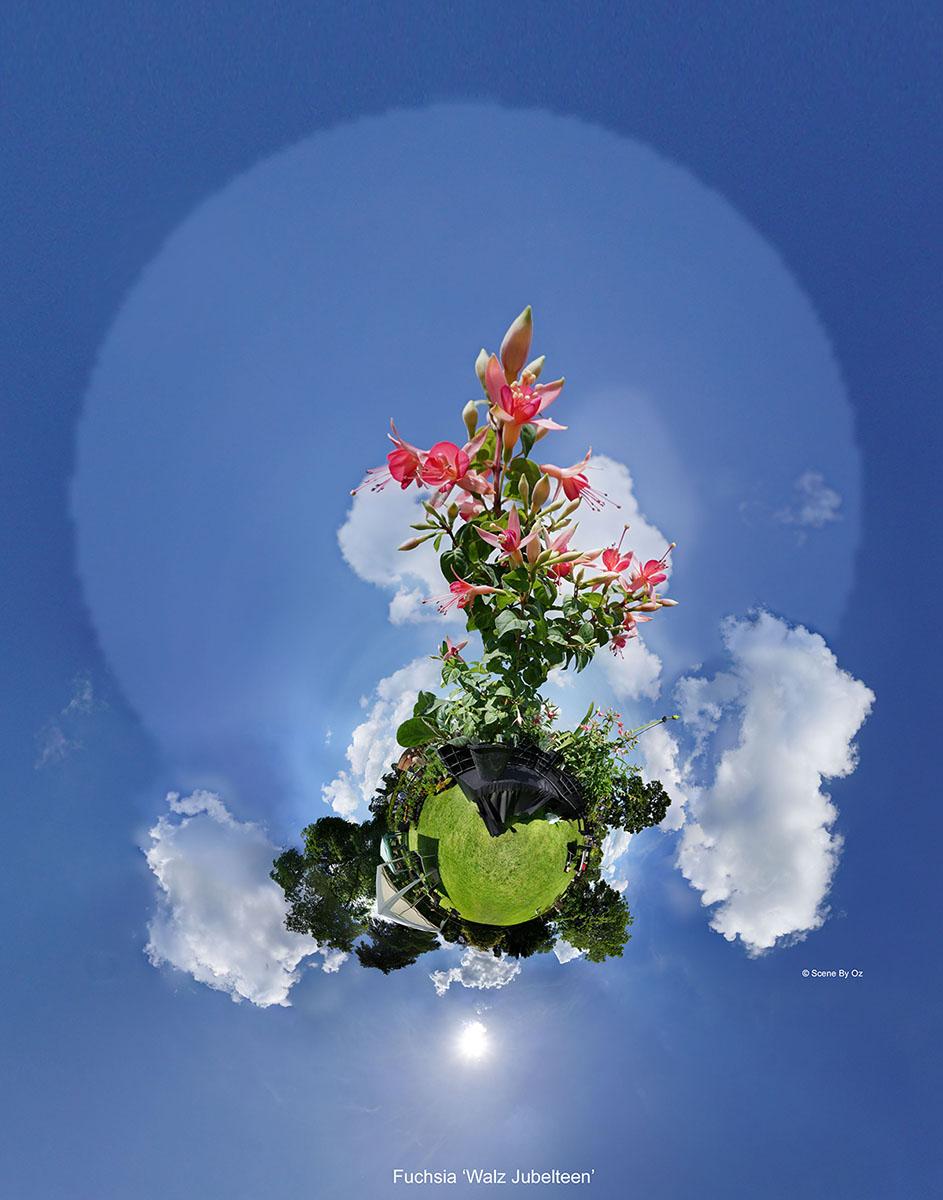 Fuchsia 'Walz Jubelteen'